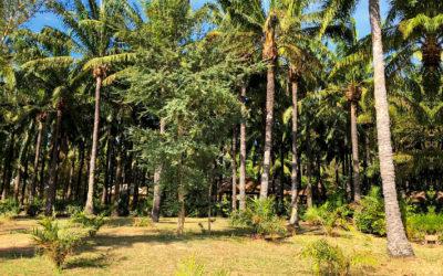 Réhabilitation de la palmeraie de Sédhiou